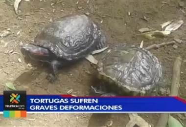 Mayoría de tortugas en cautiverio tienen graves deformaciones