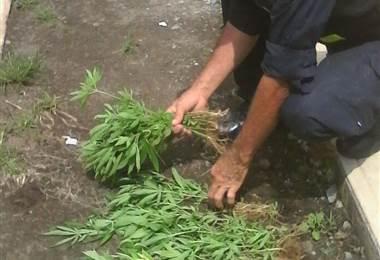 Decomiso de marihuana. Cortesía MSP