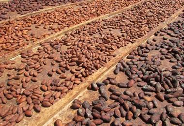 El futuro del chocolate mundial podría estar en un pequeño laboratorio de Costa Rica