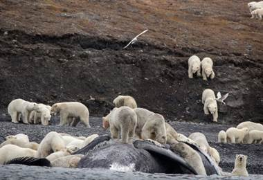 Osos polares están hacinados en una isla a causa del cambio climático
