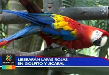 300 lapas rojas serán liberadas en Golfito y Jicaral