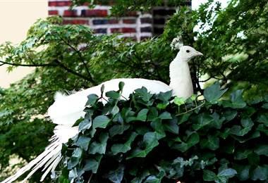 Roban exóticos pavos reales en Alajuela