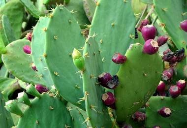 El cactus es el alimento del futuro