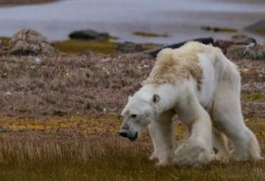 ¿Es realmente responsable el cambio climático del oso polar hambriento cuyo video se volvió viral?