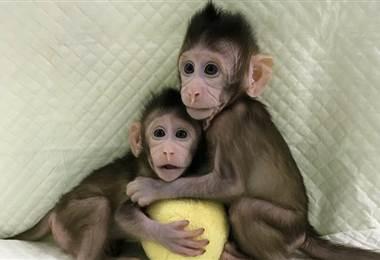 Los monos fueron bautizados como Hua Hua y Zhong Zhong.  Instituto de Neurociencias de la Academia China de Ciencias