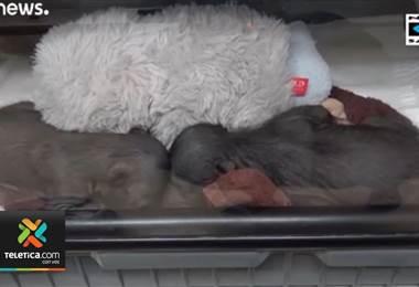 Científicos cuidan con esmero dos osos perezosos nacidos en el zoológico de Singapur