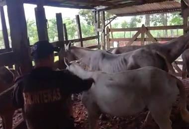 Caballos con ulceras y garrapatas fueron decomisados en la frontera norte
