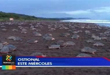 Arribada de tortugas en Ostional evidencia problemas como la pesca ilegal y la contaminación