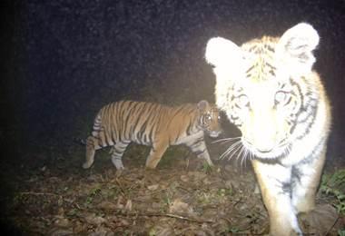 Tigres en Nepal. AFP