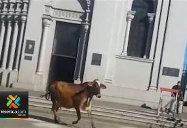 Vaca causó estragos en el centro de San Ramón de Alajuela