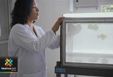 Agrónoma tica propone aumentar producción de avispas para disminuir moscas en frutas