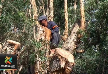 Podaron árbol centenario de corcho que se quemó la semana pasada en el Parque España