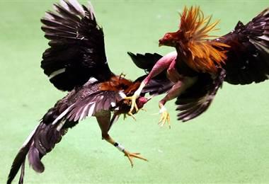 EE.UU. prohíbe pelea de gallos en Puerto Rico