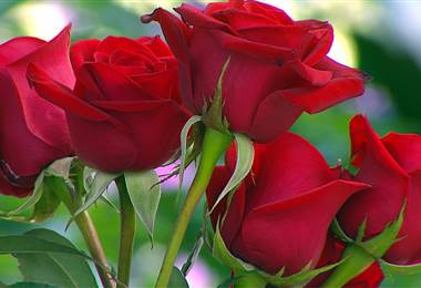 Conozca los principales beneficios de la rosa