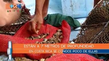 Las ostras son un molusco poco conocido dentro de la gastronomía costarricense. Sin embargo desde hace algunos años para acá, nuestro personaje Gomito, se dedica a cultivarlas.  Para que tengan un tamaño aceptable pasan más de 9 meses, pero el trabajo previo es cansado y diario, por eso lo vinimos a conocer.