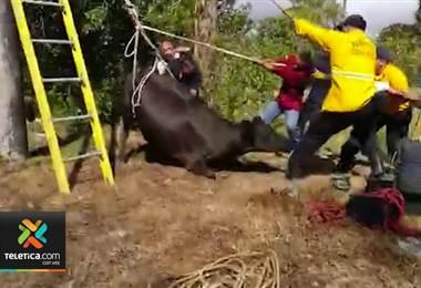 Bomberos liberó una vaca que pasó 12 horas con la pata atrapada en un tubo