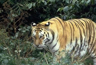 El tigre es una de las especies amenazadas.