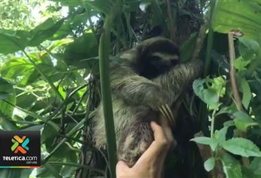 Utilizan grabación del llanto de un perezoso y la reproducen para encontrar a su mamá en Limón
