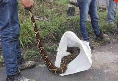 Capturan enorme serpiente debajo del puente sobre el Rio Platanar en Ciudad Quesada