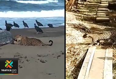 Varios jaguares se están comiendo animales en diferentes sectores de Matina y Siquirres