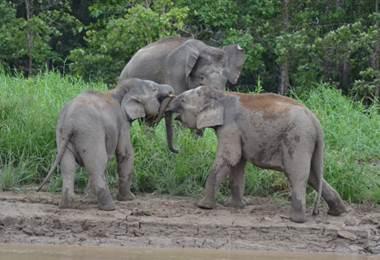 Elefantes de Borneo.
