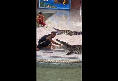 Cocodrilo mordió el brazo de un domador en medio espectáculo en Tailandia