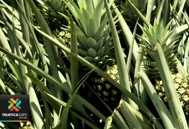 Piña costarricense podría exportarse a Nueva Zelanda