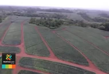 Reportan pérdidas millonarias en las exportaciones de banano y piña