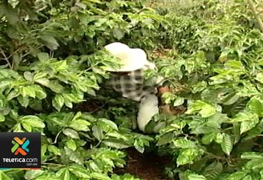 Caficultores deben fertilizar sus plantas para enfrentar el fenómeno del niño