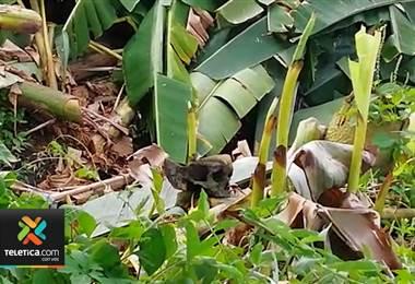 Peones bananeros encontraron lo que sería un cráneo humano en Batán de Limón