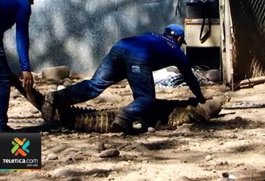 Compañía productora de tilapia creó un sistema para proteger a sus colaboradores de los cocodrilos