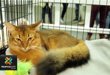 Costa Rica será la sede de la Exposición Felina Internacional
