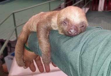 Rescatan cría de oso perezoso en Chacarita de Osa