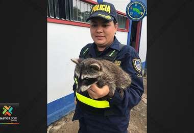 Fuerza Pública y Sinac rescataron a cría de mapache