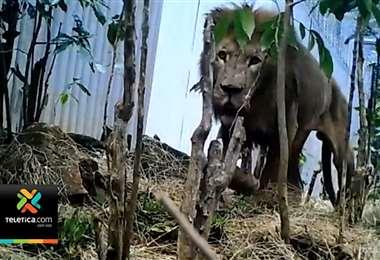 Ministro de Ambiente asegura que se hizo justicia en caso del león Kivú