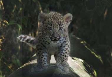 Bebé leopardo