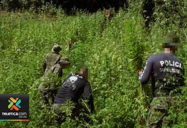 Autoridades destruyeron 401.000 plantas de marihuana en cerros de Talamanca