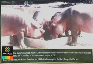temor en Colombia por los hipopótamos de Pablo Escobar