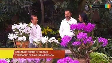 Hablemos sobre el cultivo y cuidado de la Guaria Morada
