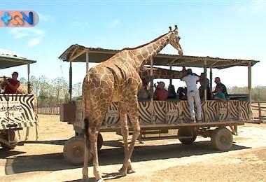300 animales provenientes del continente africano viven en El Salto de Liberia, específicamente en Ponderosa Adventure Park. Allí los visitantes tiene una experiencia de estilo safari donde pueden interactuar con jirafas, zebras, ñius, entre otros.     Además hay otras actividades como Kayak, cabalgatas, cataratas y canopy.     ¿Quiere contactarlos? Tel: 2288-1000