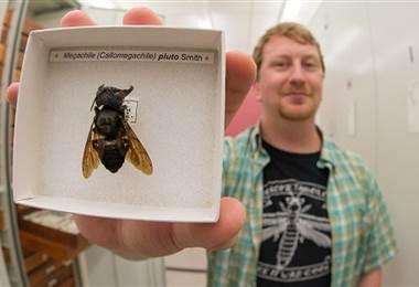La abeja que parece un bulldog de lo grande que es. BBC