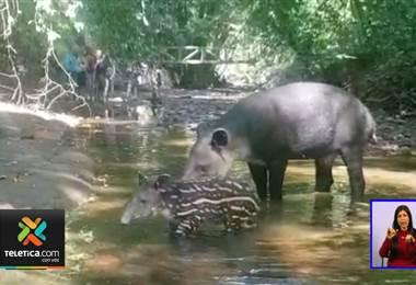 Danta y su cría fueron captadas en el Parque Nacional Corcovado Luanna
