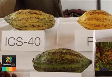 Cacao tico se posiciona entre los mejores del mundo