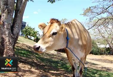 Hogar de ancianos de Piedades de Santa Ana está rifando una vaca para poder terminar la lavandería