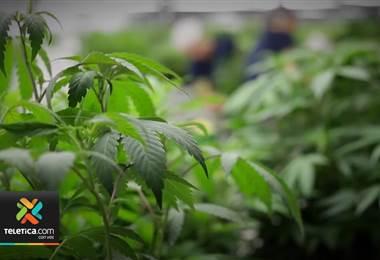 Ticos se unirá a una marcha mundial en favor del uso del cannabis medicinal