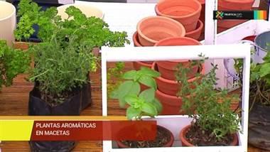Plantas aromáticas en macetas