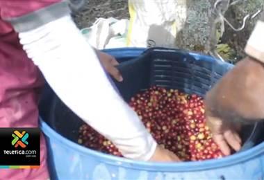 39.000 productores viven de las cosechas de café en nuestro país