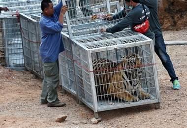 Tigres confiscados en Tailandia