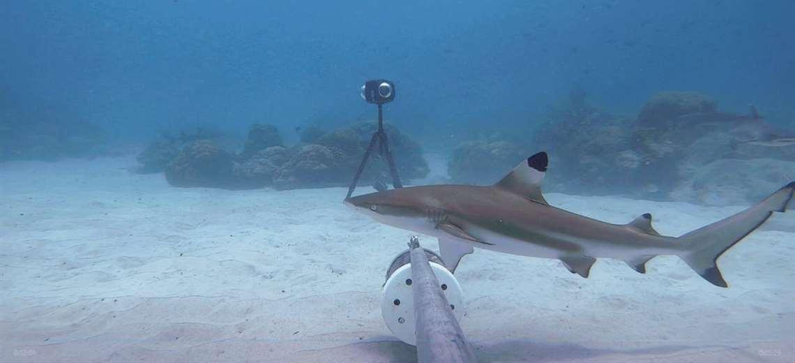 Cámaras submarinas captan 29 especies de tiburones y rayas en aguas ticas |  Teletica